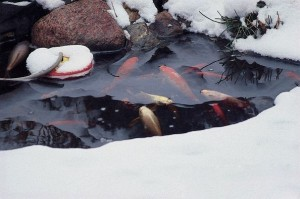 Winter garden pond maintenance